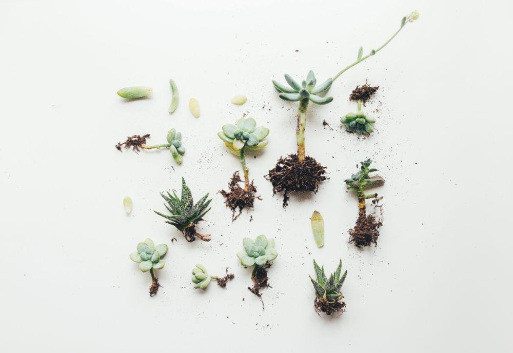 土から出された多肉植物