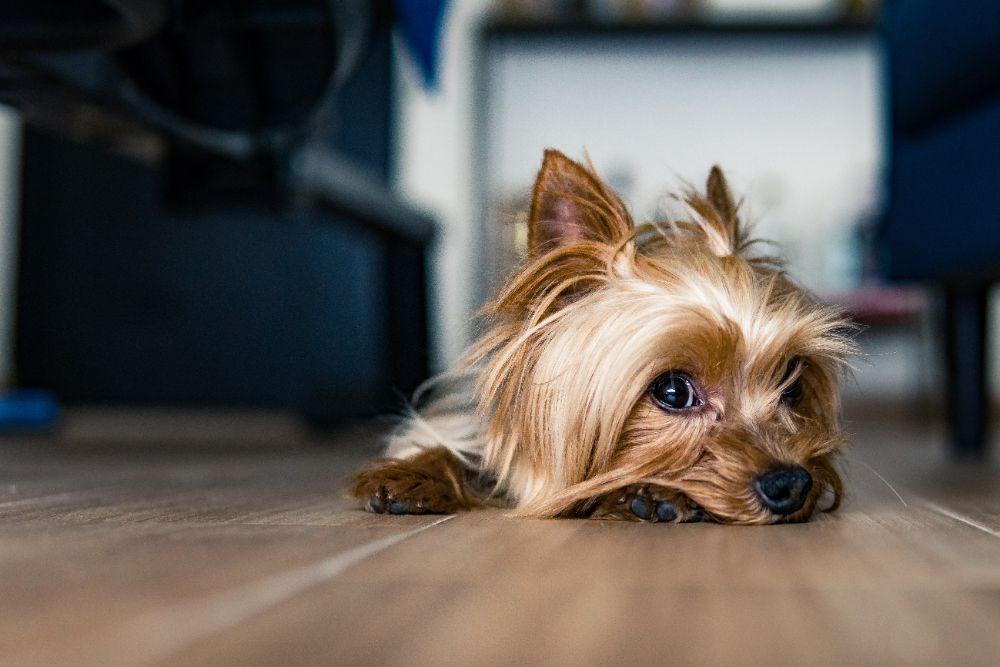 床に寝そべっている犬