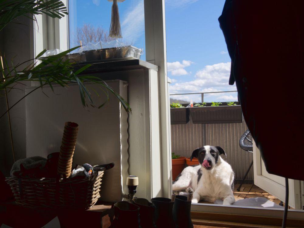 ベランダにいる犬