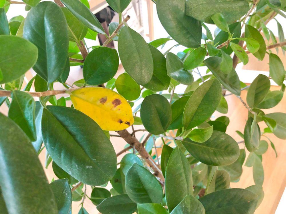 黄色く変色してしまった植物の葉
