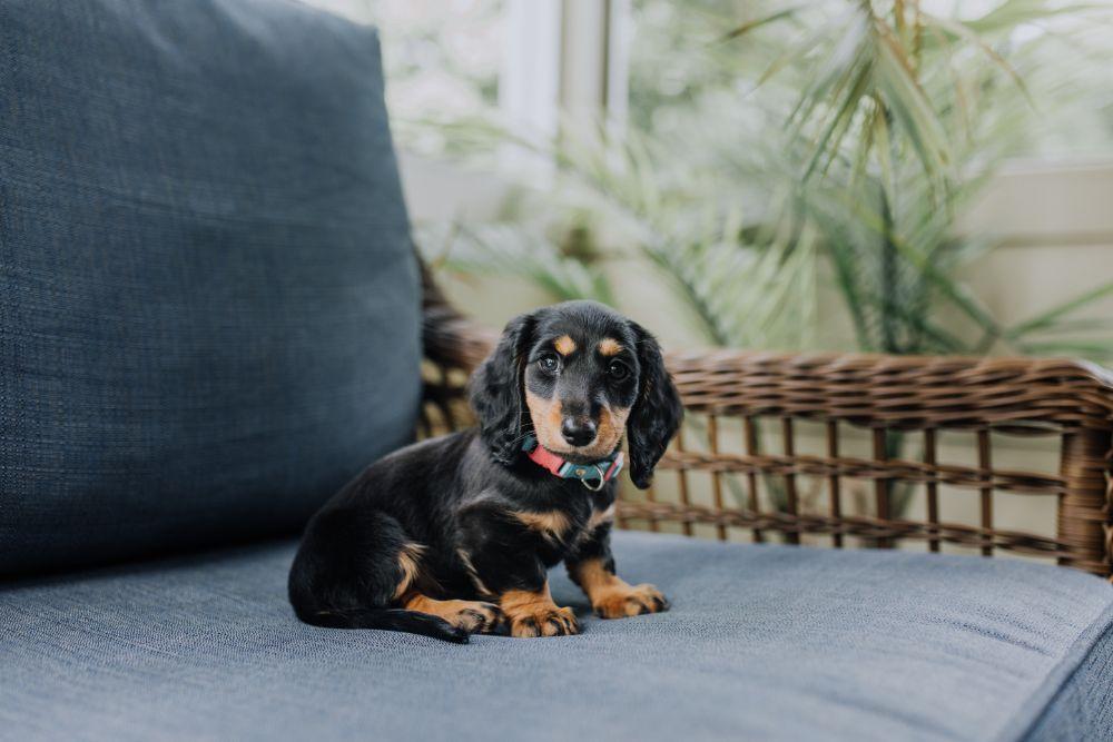 ソファの上に座っている犬