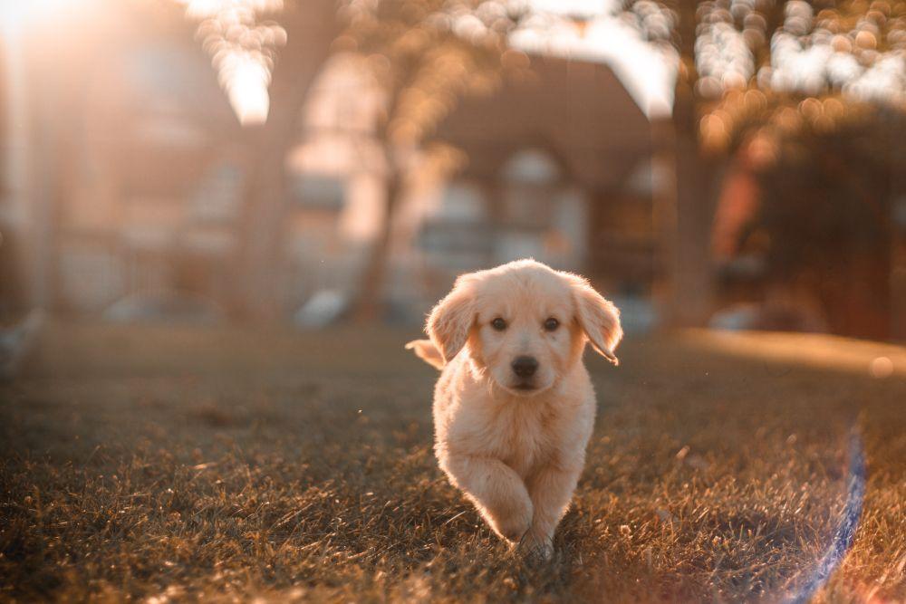 芝生の上で走っている子犬